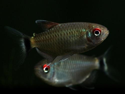 moenkhausia-sanctaefilomenae-4