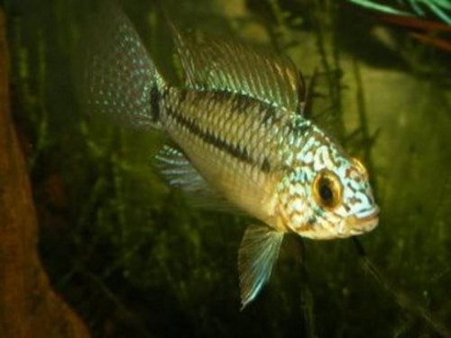 Apistogramma_Steel_blue_smalll