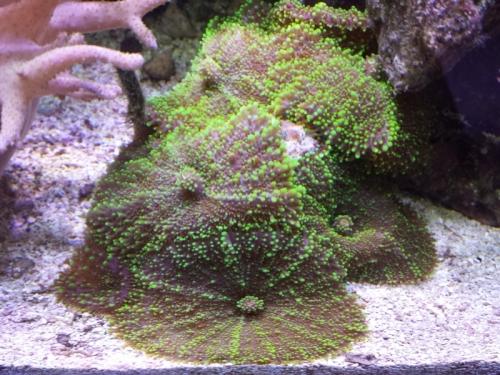 Mushroom Hairy Green