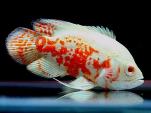 albino_tiger_oscar_small