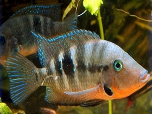 firemouth_cichlid_small