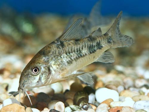 peppered catfish