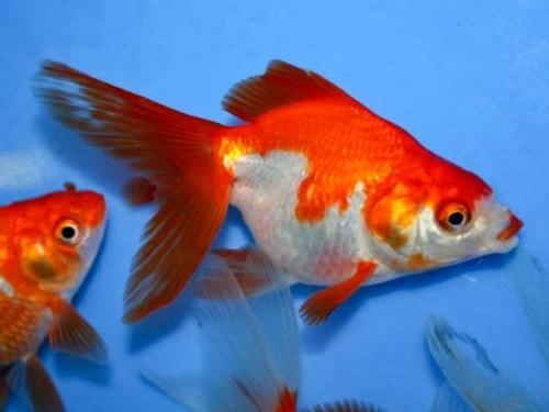 red_white_ryukin_goldfish2