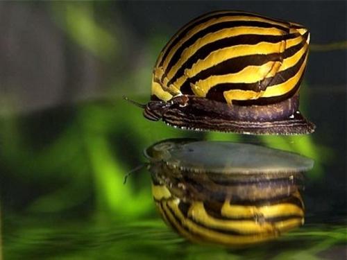 zebra stripe snail