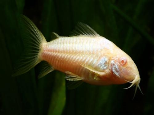 Albino-cory