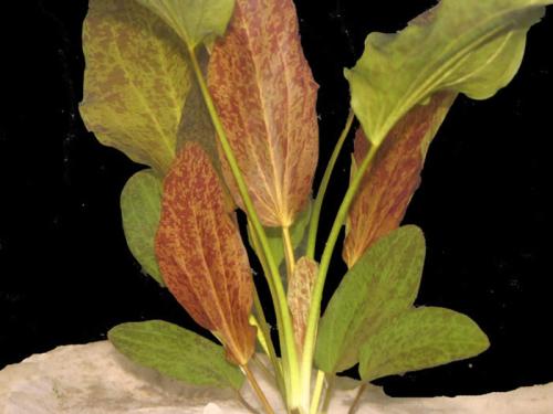 Echinodorusredflamecrop_000