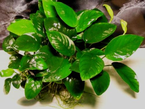 anubias heerophylla