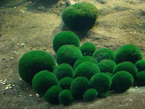 chladoflora